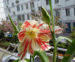 Wholesale Amaryllis bulbs sementes de flores native species ball Amaryllis bulbs for casa e jardim garden Home decoration with gift