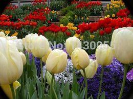 Wholesale blubs flower bulbs tulip bulbs sementes de flores casa e jardim garden bonsai tree home decoration with gift