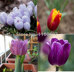 Wholesale Home amp garden color flower bulbs tulip bulbs sementes de flores case e jardim garden bonsai tree plants seed with gift
