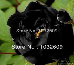 Wholesale 100pcs black peony seeds garden rare flower seeds ornamental plant peony sementes de flores for casa e jardim