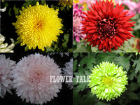 Wholesale Yellow green red white chrysanthemum seeds sementes de flores bonsai chrysanthemum flower seeds seeds indoor plants
