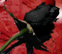 Promotion black Rose Seeds - black color **5 seeds per packa...