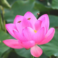 Wholesale water Lotus seeds without freight