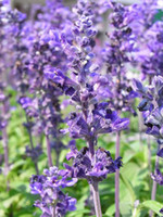 bid lot - Lavender Seeds Seeds per from china welcome to bid