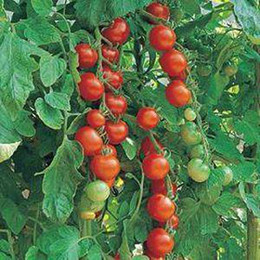 Wholesale Up to Off Sweet Red cherry tomato seeds Seeds per