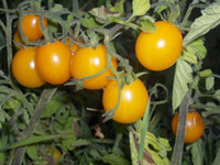 Wholesale Up to Off Sweet Sun gold Yellow cherry tomato seeds tomatoes Seeds per