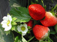 Wholesale New arrival Strawberry Seeds for sale delicious varieties Vegetable fruits Seeds