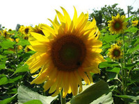 Wholesale New arrival Helianthus annuus Sunflower Seeds for sow per package