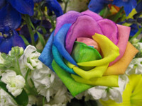 Wholesale Rainbow Rose Seeds Rainbow color seeds per package flower seeds home gardening