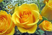 Wholesale quot Baixi quot Yellow Rose Seeds seeds per package flower seeds home gardening