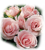 Wholesale quot Danney quot Pink White Rose Seeds seeds per package flower seeds home gardening