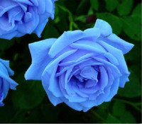 Wholesale Flower seeds Blue Rose seeds seeds per flower seed garden plants