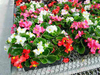 begonia mix - ANNUAL FLOWER GARDEN SEEDS BEGONIA quot WAX RED quot BLOOMS ALL SUMMER Mixed color