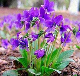 Graines rares en ligne promotion graines de fleurs rares sur - Graine de glycine ...