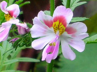 butterfly in flower - In Stock Flower Schizanthus Pinnatus Butterfly flower Seed Pack C