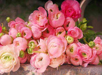 Wholesale New Arrival Ranunculus asiaticus flower Persian buttercup seeds mixed color