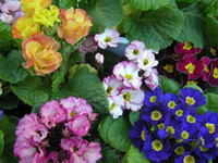 Wholesale Mixed color Seeds Primula polyantha Pacific Giants mix Flower Polyantha primrose