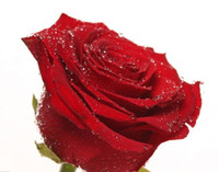 Wholesale DHL Rose seeds garden plants red rose seeds seed