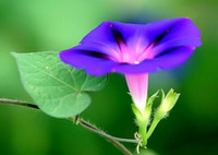 Wholesale Morning glory seeds