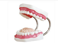 Wholesale medical science model new style Dental Care Model Teeth teeth model