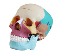 Wholesale DHL Hot selling Life Size Skull model with Colored Bones medical science model Human anatomical model About days arrive