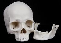 Wholesale White Medical Skull Model High Simulation Skeleton Human Skull Mask Resin Models Quality Assurance
