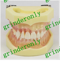 Cheap dental Best teeth model
