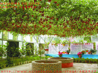 Wholesale TOMATO GIANT TREES ORIGINAL PACK SEEDS ABOUT SEEDS OUTDOOR GREENHOUSE AVAILABLE HEIRLOOM TOMATO SEEDS