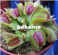 Wholesale 50pcs Potted Insectivorous Plant Seeds Venus Flytrap Seeds