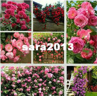 Wholesale Climbing Rose Chinese Rose Flower Seeds color can choose