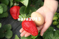 other Bonsai Herbs Giant red Strawberry seed fruit Potted Garden vegetable ornamental plant Seeds Free shipping 100pcs