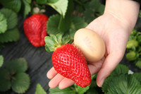 Wholesale Giant red Strawberry seed fruit Potted Garden vegetable ornamental plant Seeds