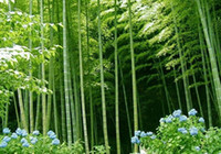 Wholesale Rare Moso Bamboo seeds Phyllostachys pubescens giant hardy