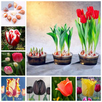 Wholesale Bulbs tulip bulbs bonsai flowers bulbs hydroponic chromophous balcony