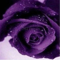 Wholesale Rose of Sharon Beautiful Purple Rose Colors Flower Seeds Home Decoration