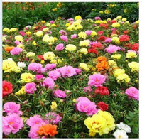 Wholesale Sunflower seeds plena Portulaca seed blending die Spring sowing Yi feed