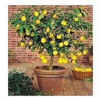 Tree Seeds Bonsai Outdoor Plants Bonsai Lemon Tree Seeds High survival Rate Fruit Tree Seeds For Home Gatden Backyard (40Pieces) Free Shipping