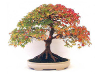 Tree Seeds   Wholesale - 18 BONSAI CANADIAN MAPLE TREE SEEDS MINI PLANTS NEW LIVE FRESH SEEDS DIY HOME GARDEN SHIPS FREE