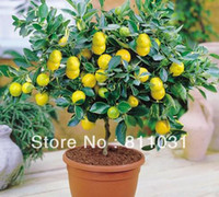 Wholesale Hot selling Lemon Tree seeds fruit seeds bonsai plant DIY home garden