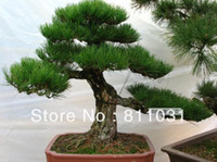 Tree Seeds Bonsai Pinus Wholesale - Hot selling 50pcs Japanese pine tree seeds, Pinus thunbergii seeds, bonsai seeds DIY home garden free shipping