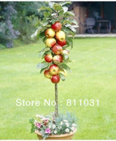 Tree Seeds Bonsai Other Wholesale - 10pcs hot selling Bonsai Apple Tree Seeds for DIY home garden free shipping