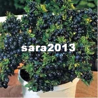 other Bonsai BLUEBERRY Wholesale - BLUEBERRY BONSAI TREE * 80 SEEDS WITH HERMETIC PACKING * INDOOR OUTDOOR AVAILABLE * HEIRLOOM FRUIT SEEDS