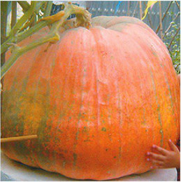 Wholesale ORIGINAL PACKS SEEDS YELLOW GIANT PUMPKIN EDIBLE ALSO BEING A MATERIAL FOR SMALL SHIPBUILDING PLUS MYSTERIOUS GIFT