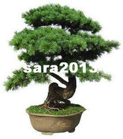 Tree Seeds Bonsai Yes Wholesale - Free Shipping 30pcs bag Japanese pine tree seeds bonsai seeds