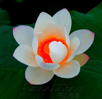 Wholesale SEEDS A Red Heart Lotus Seeds Gorgeous Aquatic Plants Label Lotus23