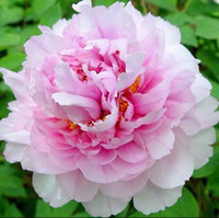 Wholesale PackS Seeds blue white black pink red peony Flower seeds Pack Seeds