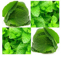 Wholesale PERFUM MINT SEEDS MENTA ARVENSIS SEEDS GREEN MINT SEEDS FLOWER SEEDS HERB SEEDS