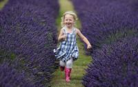 Wholesale lavender flower seeds Lavandula pinnata seeds avandula vera seeds Perennial Flowering Medical Herbs Seeds