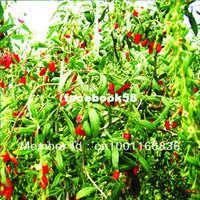 Wholesale 200 Organic HIMALAYAN TIBETAN GOJI BERRY WOLFBERRY FRUIT Bush Lycium Barbabarum Seeds