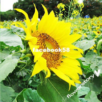 Wholesale 100 Seeds Sunflower quot Crazy Mix quot Varieties Seeds by Seed Needs